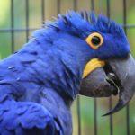 Les caractéristiques du Perroquet Ara