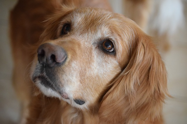 un chien de race golden retriever