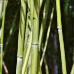 Bambou en pot ou en jardinière : quelles variétés choisir ?
