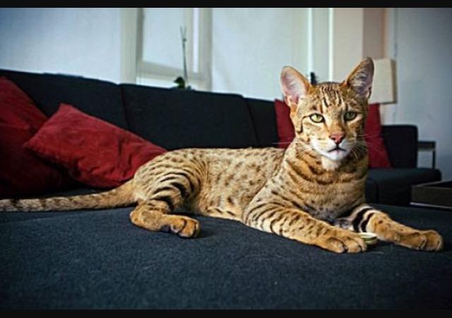 Le chat Ashera