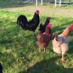 Guide du poulailler : combien de poules ? Quelle race ? Quel coût ?