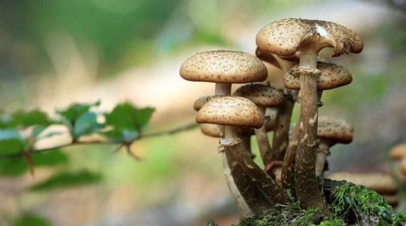 les champignons et la recherche scientifique, didier-raoult