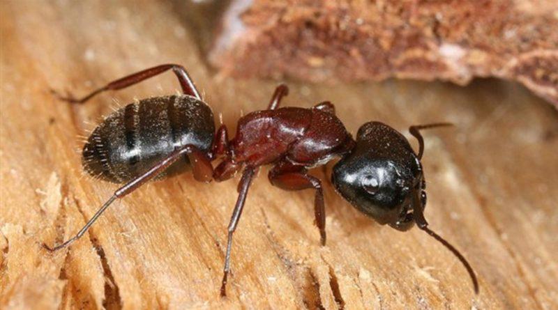 lutte fourmis charpentieres