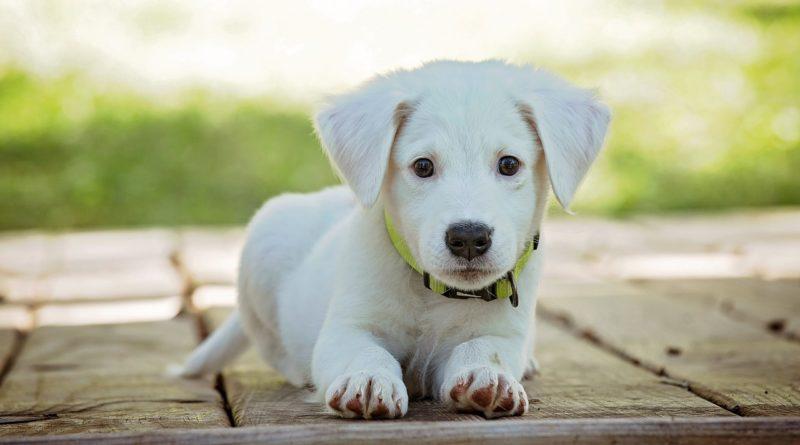 adoption de chiot