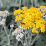 Artemisia Annua : propriétés et bienfaits