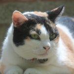 Obésité du chat : zoom sur les distributeurs de croquette