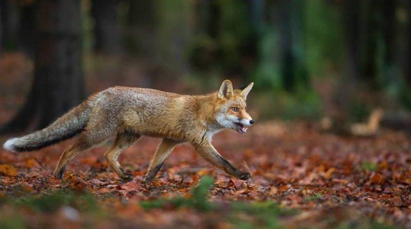 La chasse au renard
