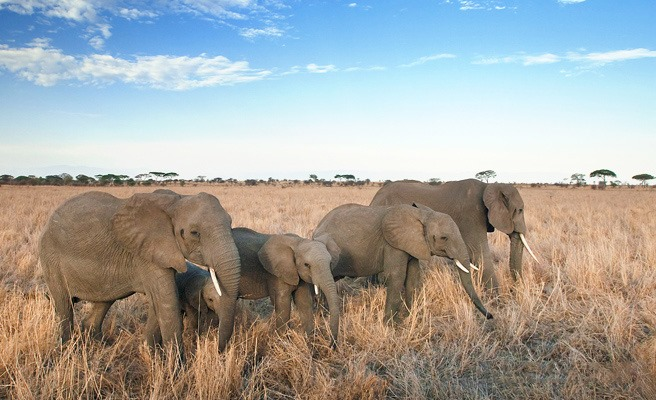 troupeau éléphants