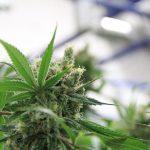 Des conseils pour ventiler vos plants de cannabis